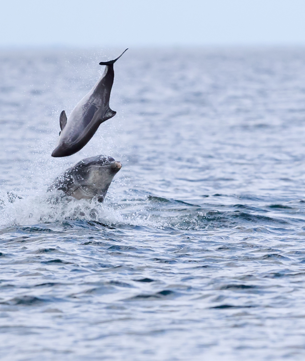 Bottlenose dolphin tossing a harbour porpoise up in the air on May 9th. Copyright: Jamie Muny.