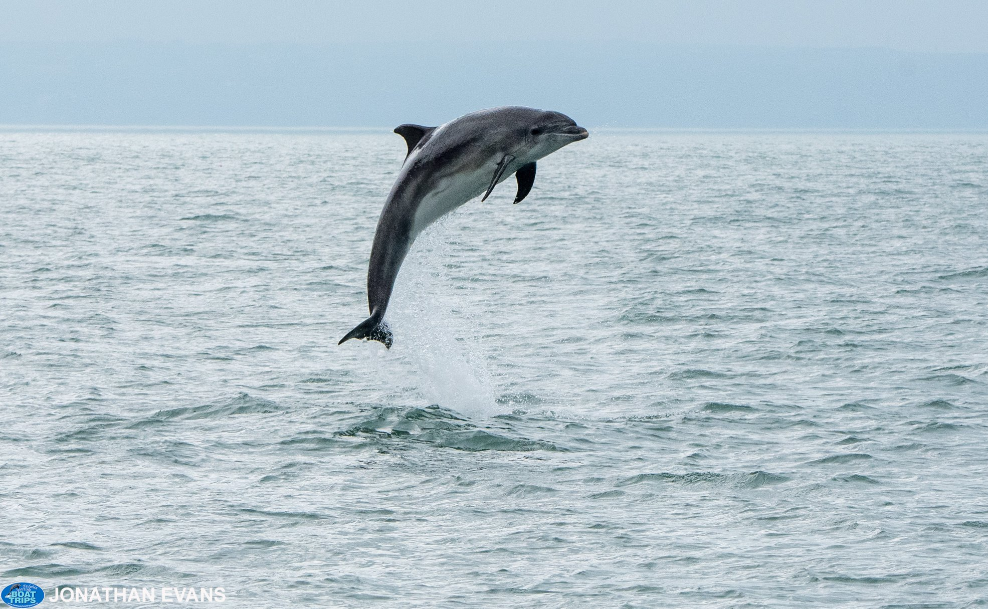 Jumping bottlenose dolphins in Cardigan Bay. Copyright: Dolphin Spotting Boat Trips