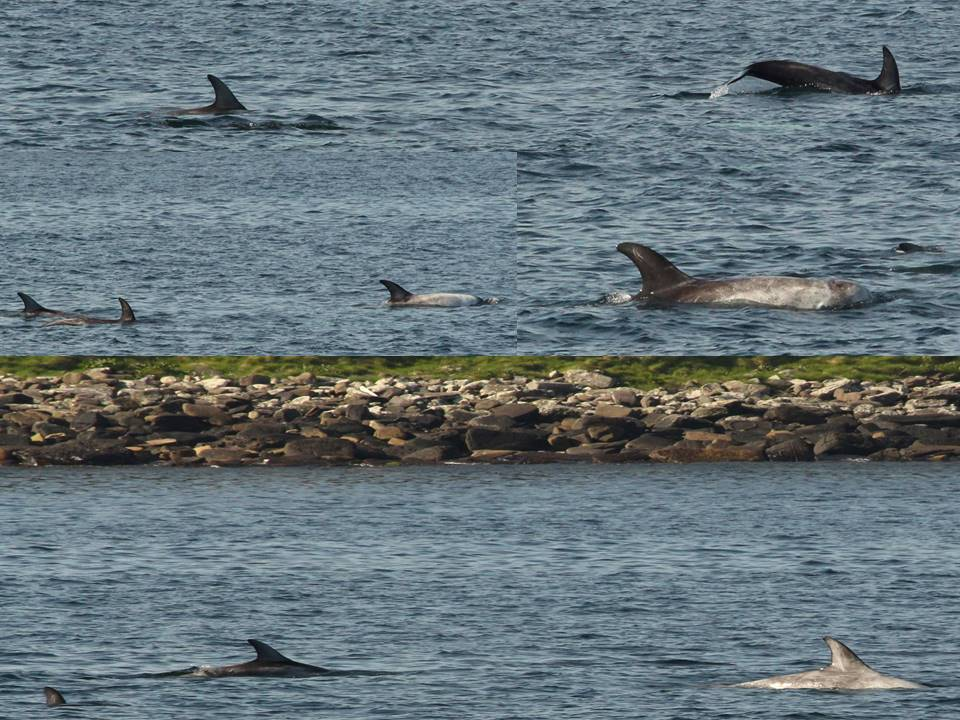 Risso's dolphins photographed in John O'Groats harbour. Photo credits: Chloe Robinson / Sea Watch Foundation.