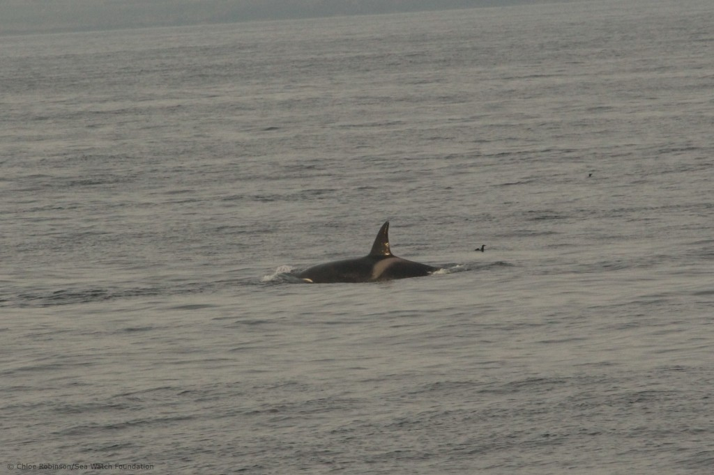 Pod of killer whales sighted from the John O'Groats ferry boat. Photo credit: Chloe Robinson/Sea Watch Foundation.