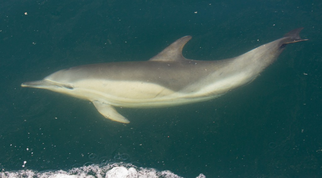 Common dolphin travelling underwater. Notice the distinctive hourglass colour pattern on the flank. Photo credit: Carl Chapman.