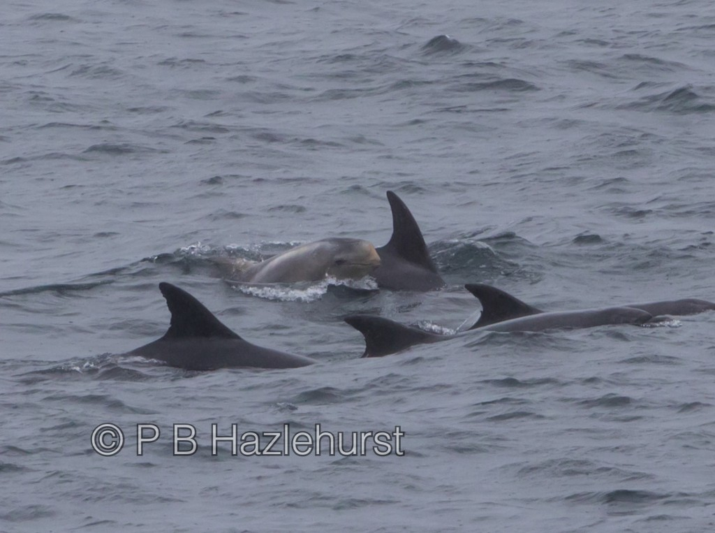 One Risso's dolphin calf swimming with an adult dolphin atypical of Risso's. Photo credit: Peter Hazlehurst