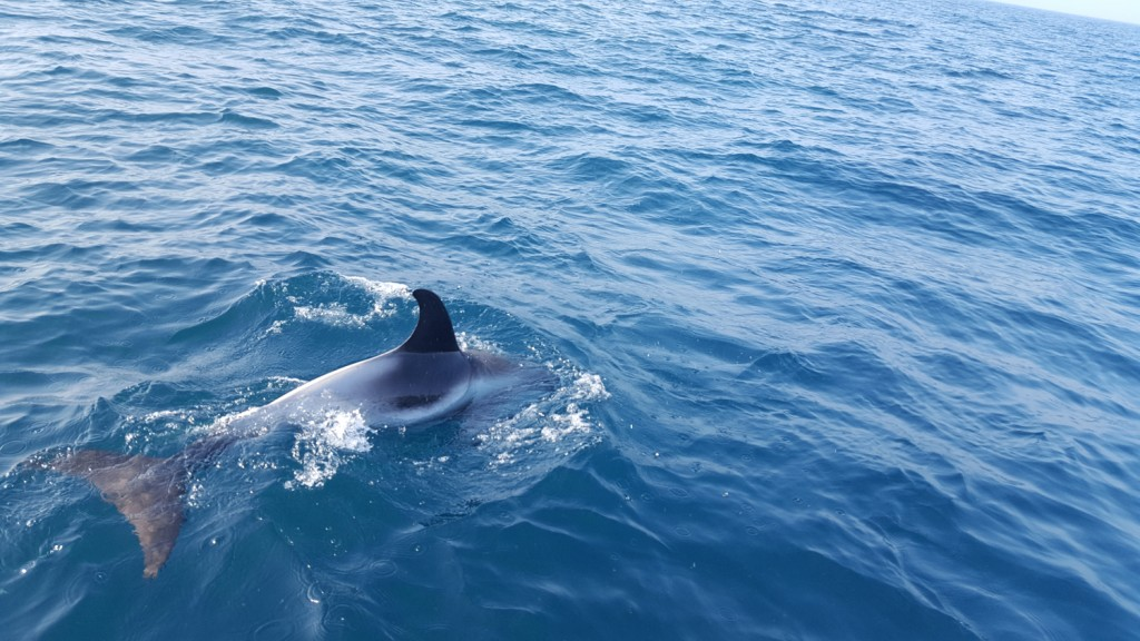 White-beaked dolphins sightings off Hastings. Photo credit: Toby Snow / Sea Watch Foundation