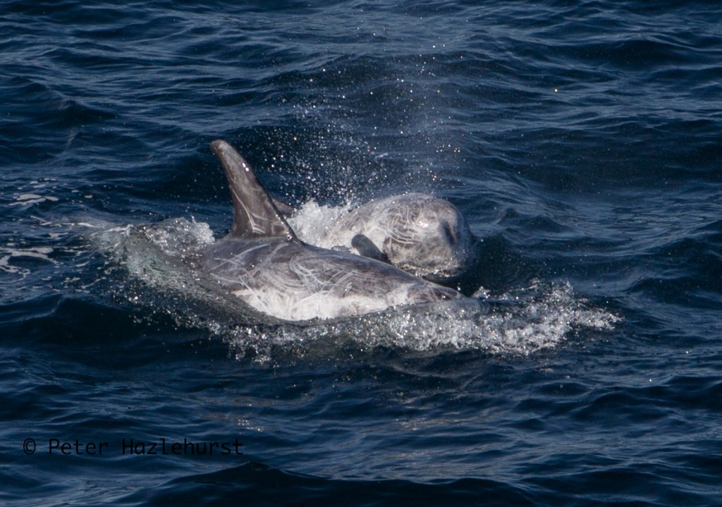 Risso's dolphins. Photo credit: Peter Hazlehurst / Sea Watch Foundation.