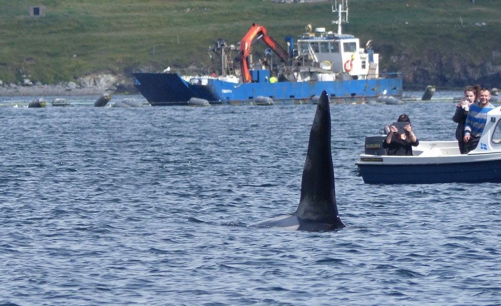 Killer whale sighted off Brae, Shetland. Photo credit: Rhona Clarke / Sea Watch Foundation