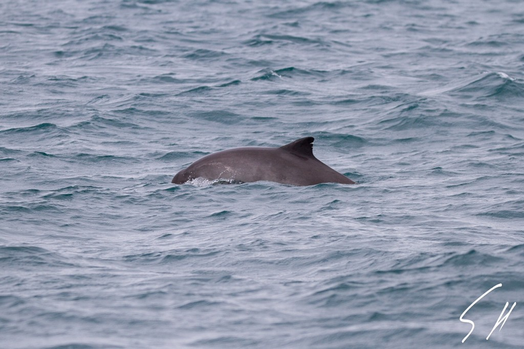 Harbour porpoise in Cornwall. Photo credit: AK Wildlife Cruises