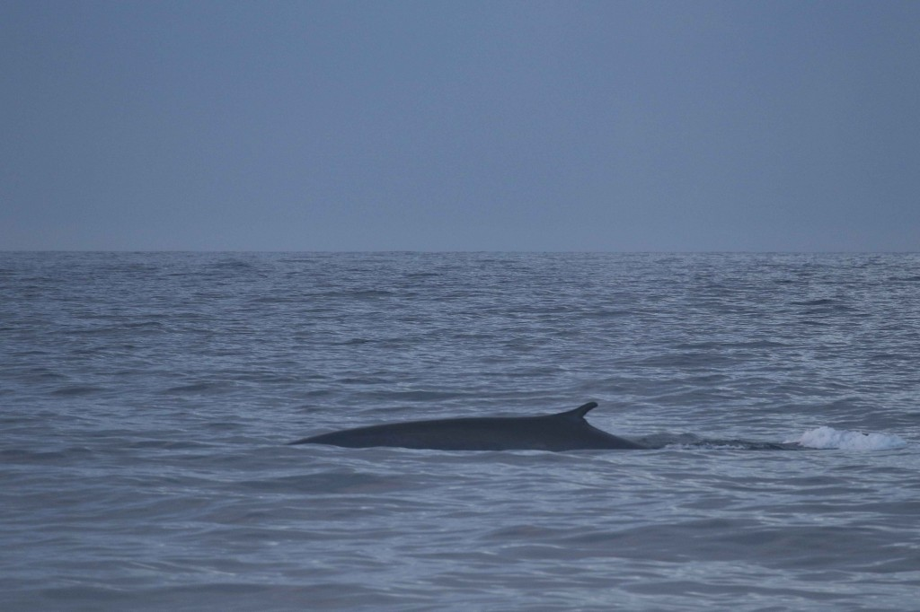 Blue-fin whale hybrid photographed in Iceland. Photo credit: Peter G.H. Evans / Sea Watch Foundation.