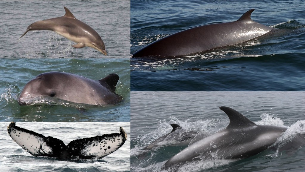 From left to right: Bottlenose dolphin (BND), County Mayo, Ireland; minke whale (MW), Isle of Eigg, Inner Hebrides; harbour porpoise (HP), Anglesey, North Wales; white-beaked dolphins (WBD), Aberdeen, Scotland; humpback whale (HW), Isle of Lewis, Outer Hebrides. Photo credits: (BND) Pia Anderwald/ SWF, (MW) P.G.H. Evans/SWF, (HP) P.G.H. Evans/SWF, (WBD) Caroline Weir, (HW) P.G.H. Evans/SWF.