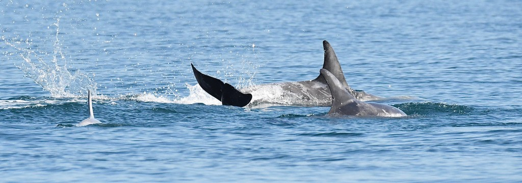 Risso's dolphins sighted north of the Shiant Isles. Photo credit: Chris Murray / Stornoway Seafari