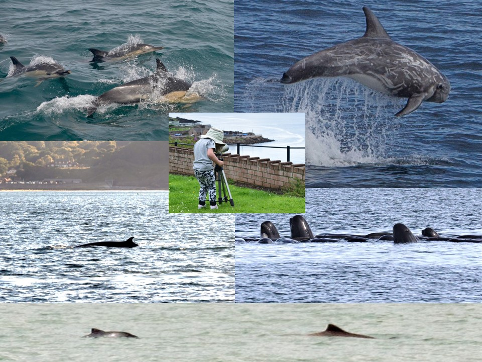 Some of the many species of cetaceans sighted during National Whale and Dolphin Watch in 2017. Copyright: Sea Watch Foundation.