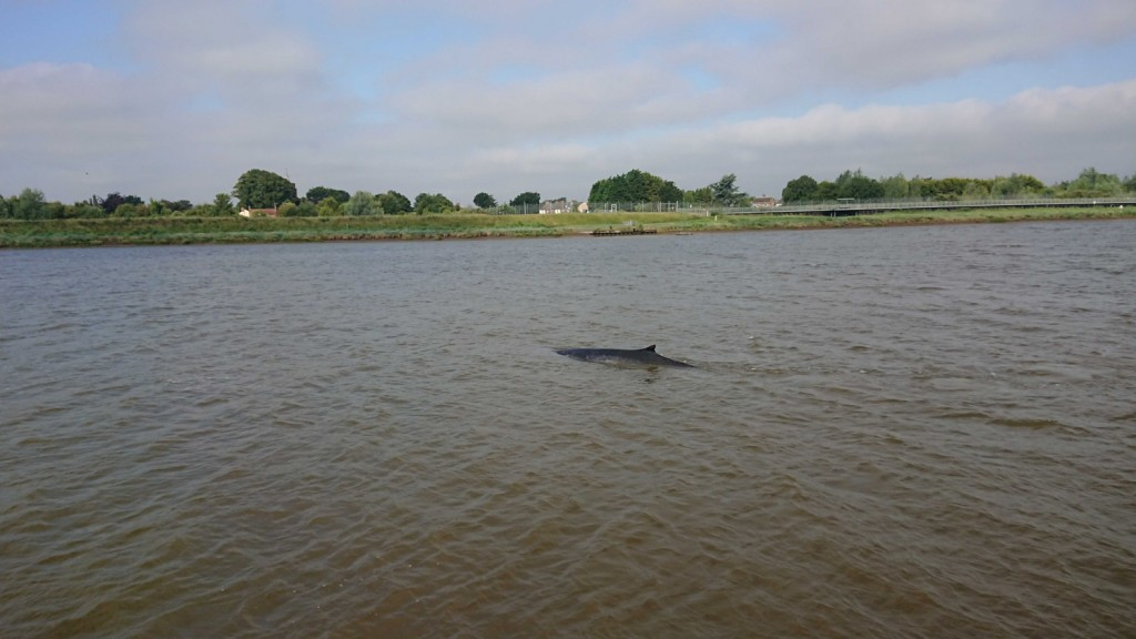 Fin whale calf spotted in the river Great Ouse, Norfolk. Photo credit: Gavin Ball / Sea Watch Foundation