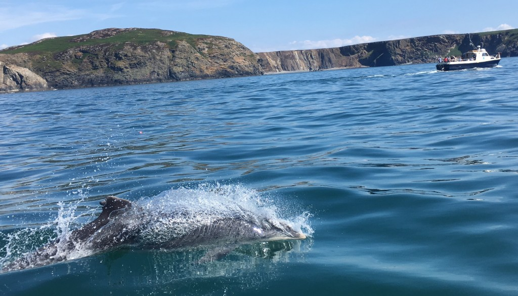 Clet, bottlenose dolphin re-sighted off Ramsey Island on July 19th. Copyright: Ffion Rees / Falcon Boats.