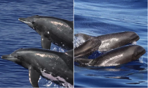 The hybrid is a cross between the melon-headed whale (right) and the rough-toothed dolphin (left). Credit: Robin W. Baird/Cascadia Research