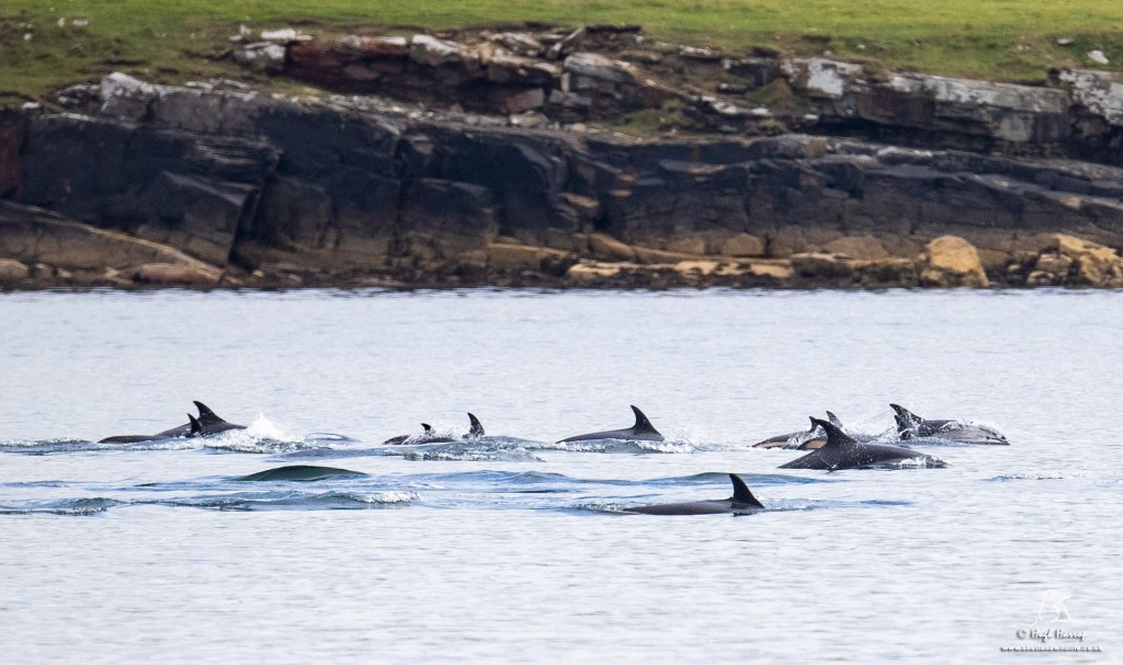 Atlantic white-sided dolphins sighted on August 3rd.  Photo credit: Hugh Harrop / Shetland Wildlife