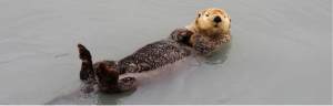 Figure one: A sea Otter, located in the Northern Pacific Ocean . Famous for their small round face and are found quite often swimming on their backs. They are almost never found on land, being 95% aquatic mammals. BioExpedition Publishing. (2014). Sea Otter. Available: https://www.otter-world.com/sea-otter/.