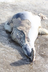 The decomposed harbour porpoise that was stranded on Dolau Beach, 13th September 2019. Photo Credit: Chiara Bertulli.