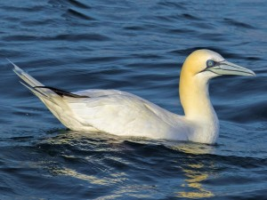 Northern Gannet. Photo by: John Reynolds, Macaulay Library