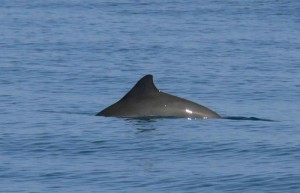 Harbour Porpoise. © K Hepworth/ Sea Watch Foundation