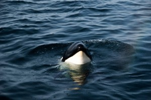 Entangled orca calf by the coast of Sagres, Algarve, Portugal. Photo by