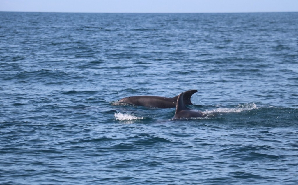Bottlenose dolphins in Cardigan Bay. Photo credit: Natasha Hunt.