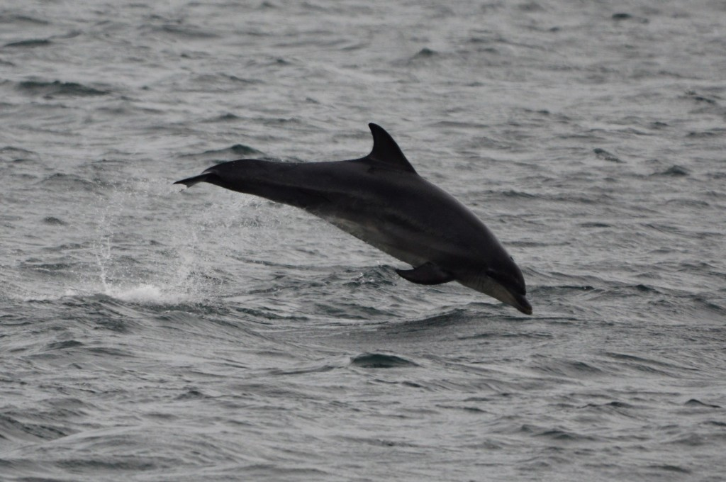 Bottlenose dolphins photographed off Berwick-upon-Tweed, Northumberland, on July 31st. Photo credit: Amber Thomas