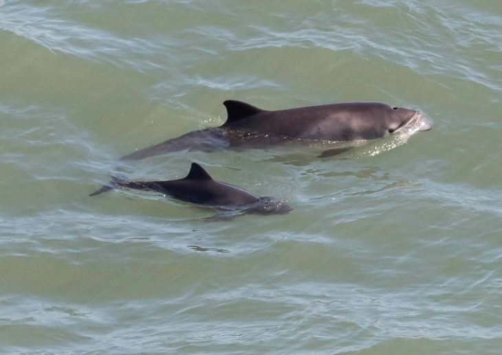 Harbour porpoise with calf at Hurlstone Point. Photo credit: Brian Gibbs.